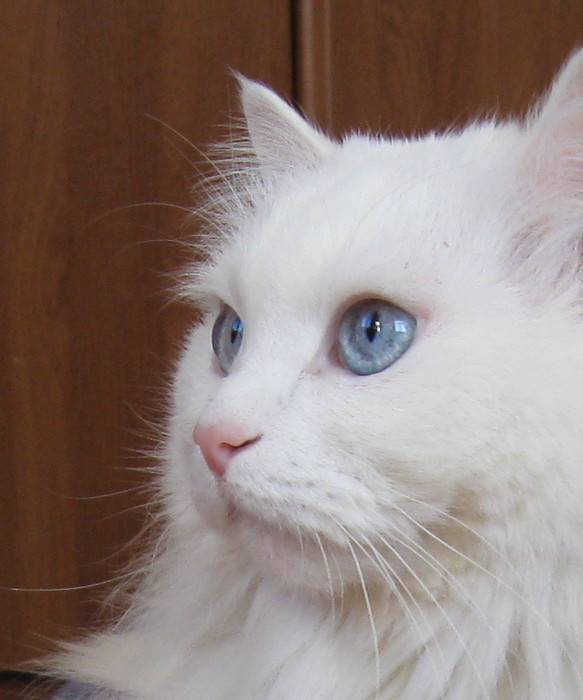 А правда что белые кошки или коты с отклонениями (глухие или слепые)?