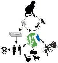 Токсоплазмоз: основные пути заражения