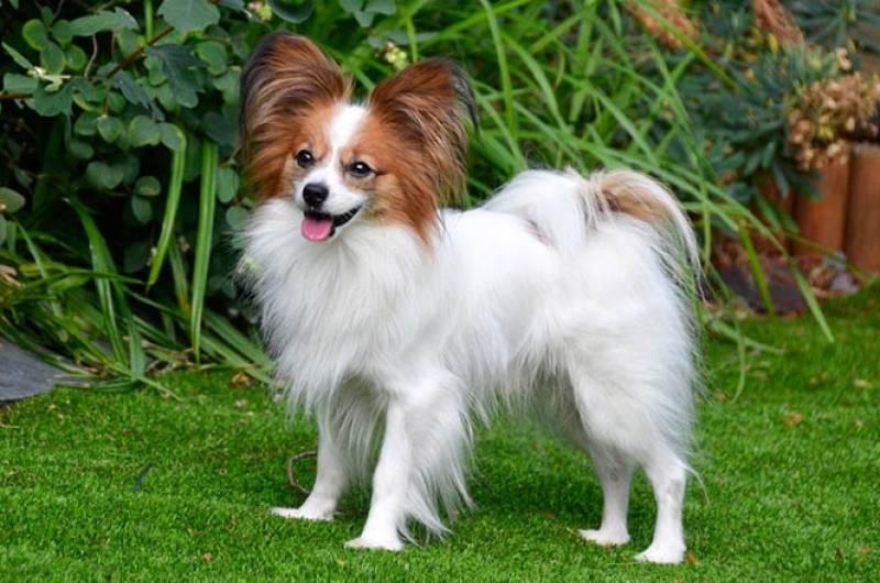 Собака папильон: фото, цена, бабочка, вид, нрав, характер, уход