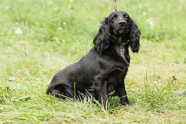 Собака спрингер-спаниель — прирожденный охотник