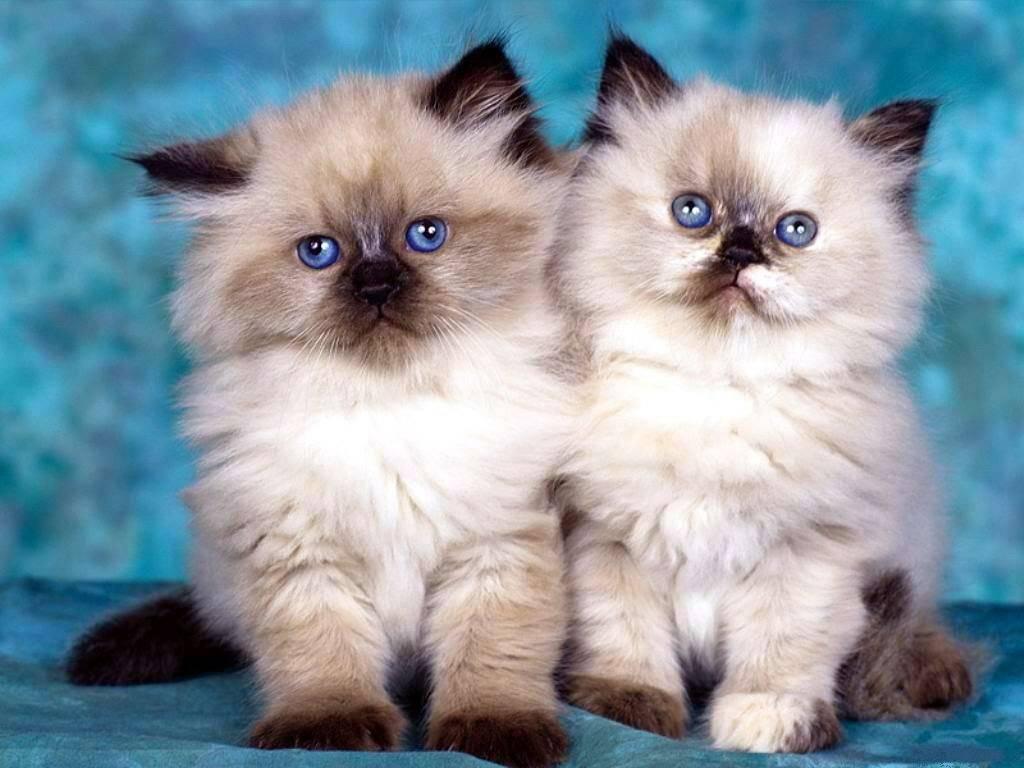 Описание гималайской породы кошек