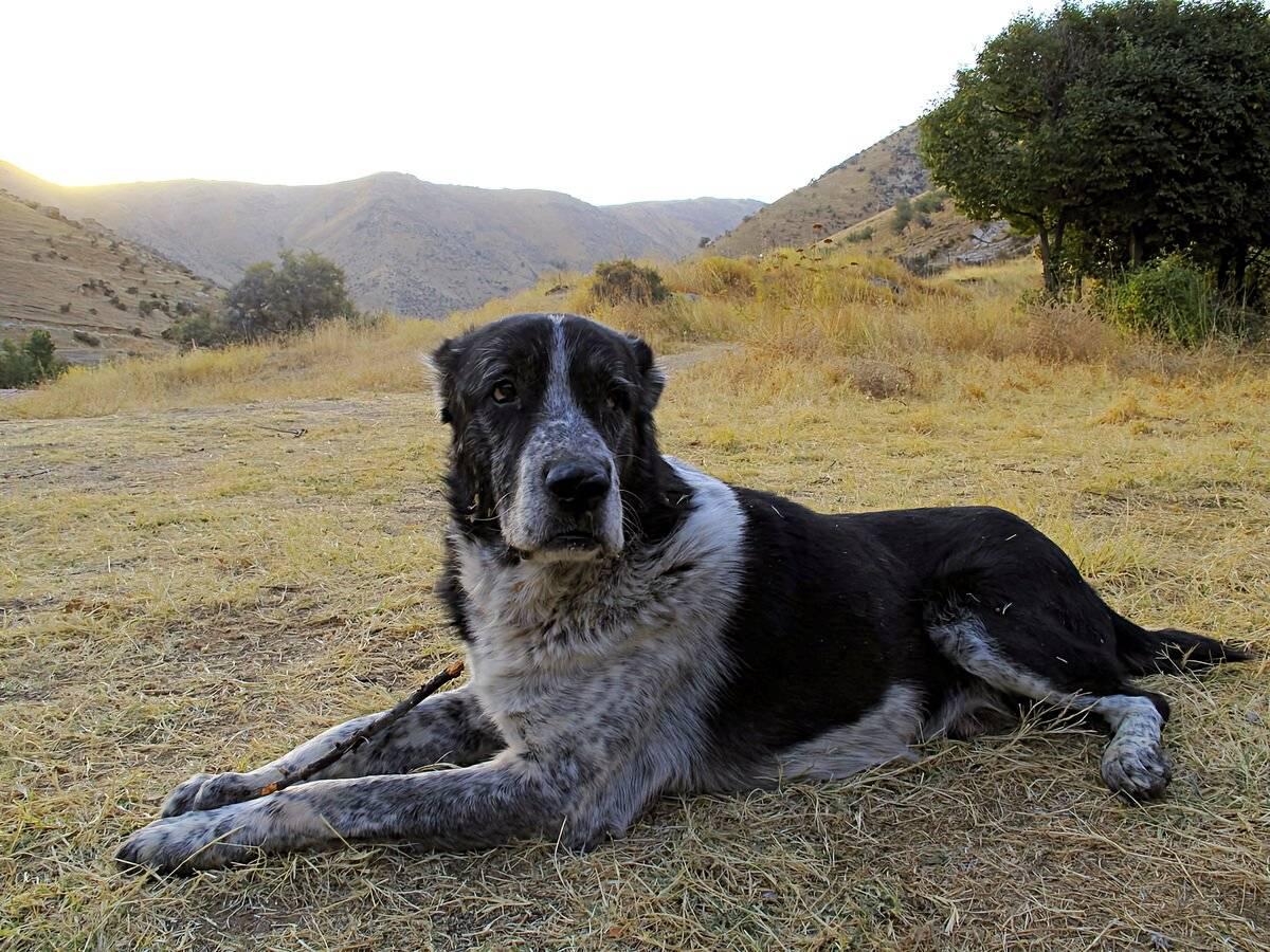 Кто сильнее волк или алабай, питбуль, кавказская или немецкая овчарка, ротвейлер, тибетский мастиф или доберман