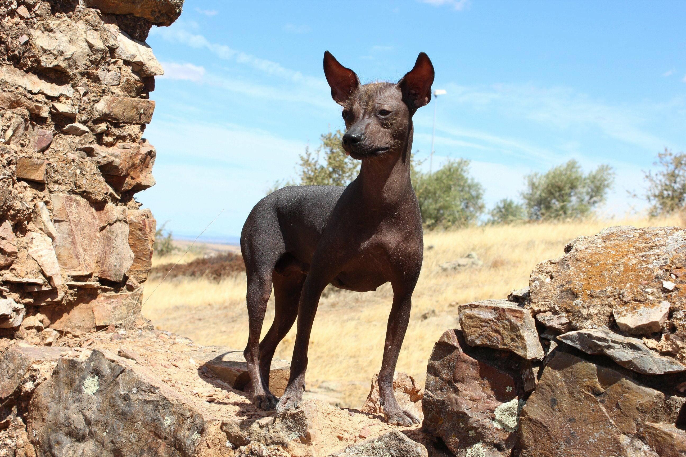 Порода голая мексиканская собака: история, внешний вид и характер, особенности ухода и дрессировки