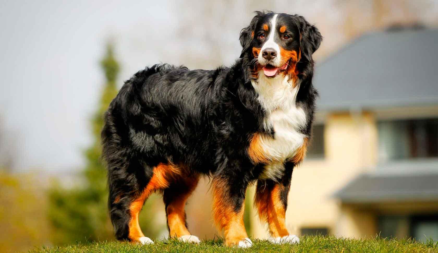Бернский зенненхунд: описание породы собак