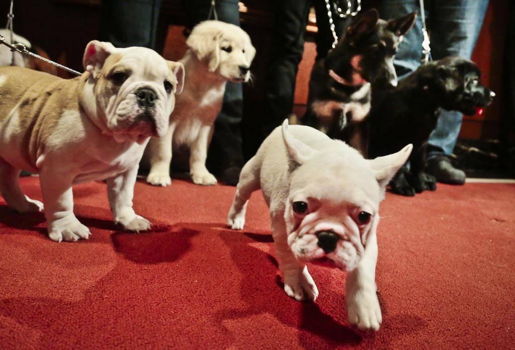 Самые популярные породы собак в этом году | hidogs.ru