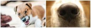 Собака чихает: причины, лечение если фыркает, кашляет и другие симптомы