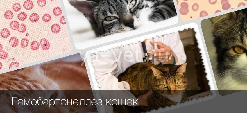 Гемобартонеллез у кошек: симптомы и лечение