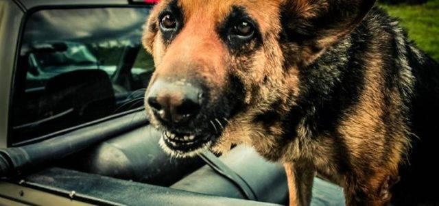 Собаку укачивает в машине: причины, что делать, список таблеток от укачивания