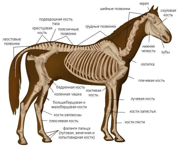 Функции и строение скелета собаки