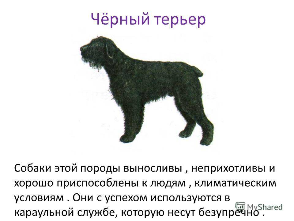 Собака, созданная по приказу самого сталина, — черный терьер
