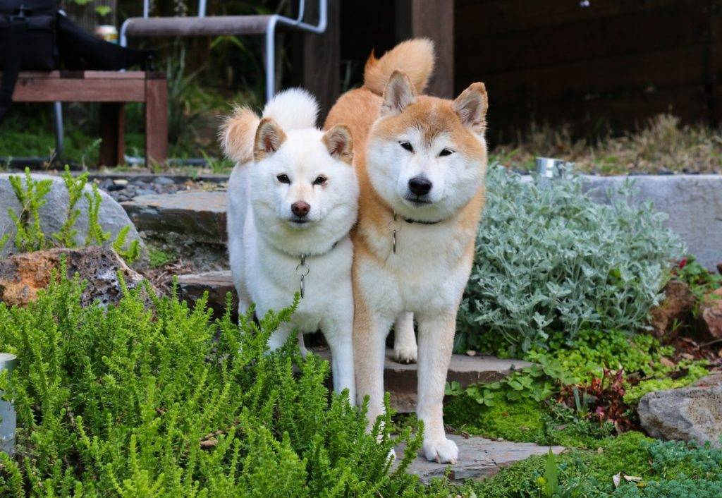 Описание породы акита-ину, характер и разновидности. хатико и другие знаменитые собаки