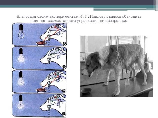 Рефлекс собаки павлова: что это такое? простыми словами: чем занимался павлов и при чем тут собака?