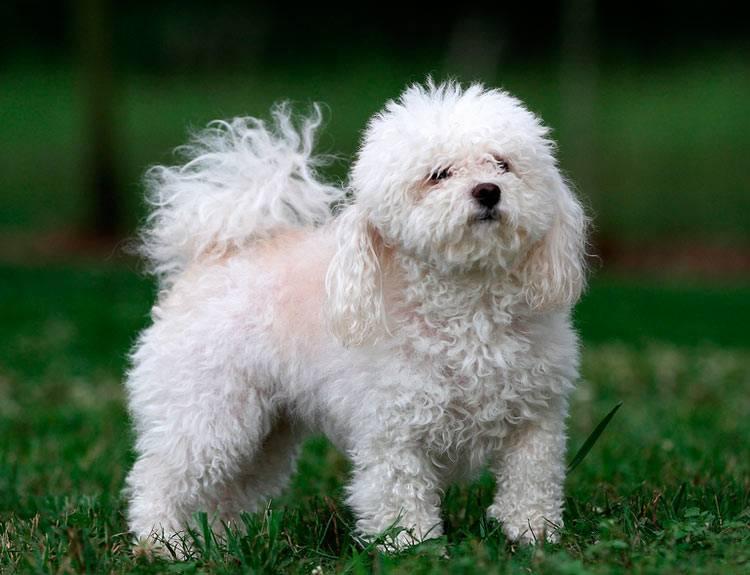 Русская цветная болонка: фото, характер, все о содержании и уходе за собакой