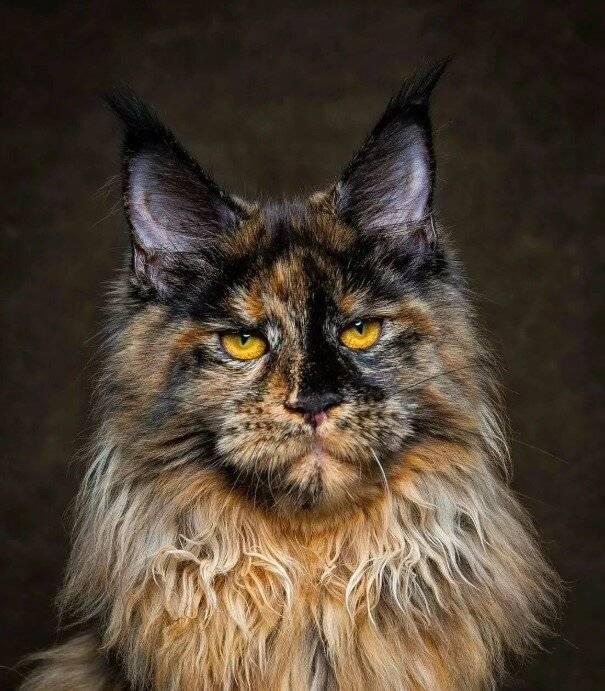 Топ 5 пород кошек, которые преданные своему хозяину не меньше, чем собаки - gafki.ru
