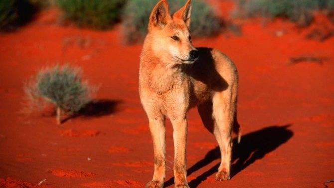 Собака динго. описание и образ жизни динго