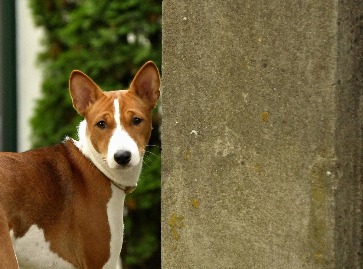 Басенджи - африканская нелающая порода собак