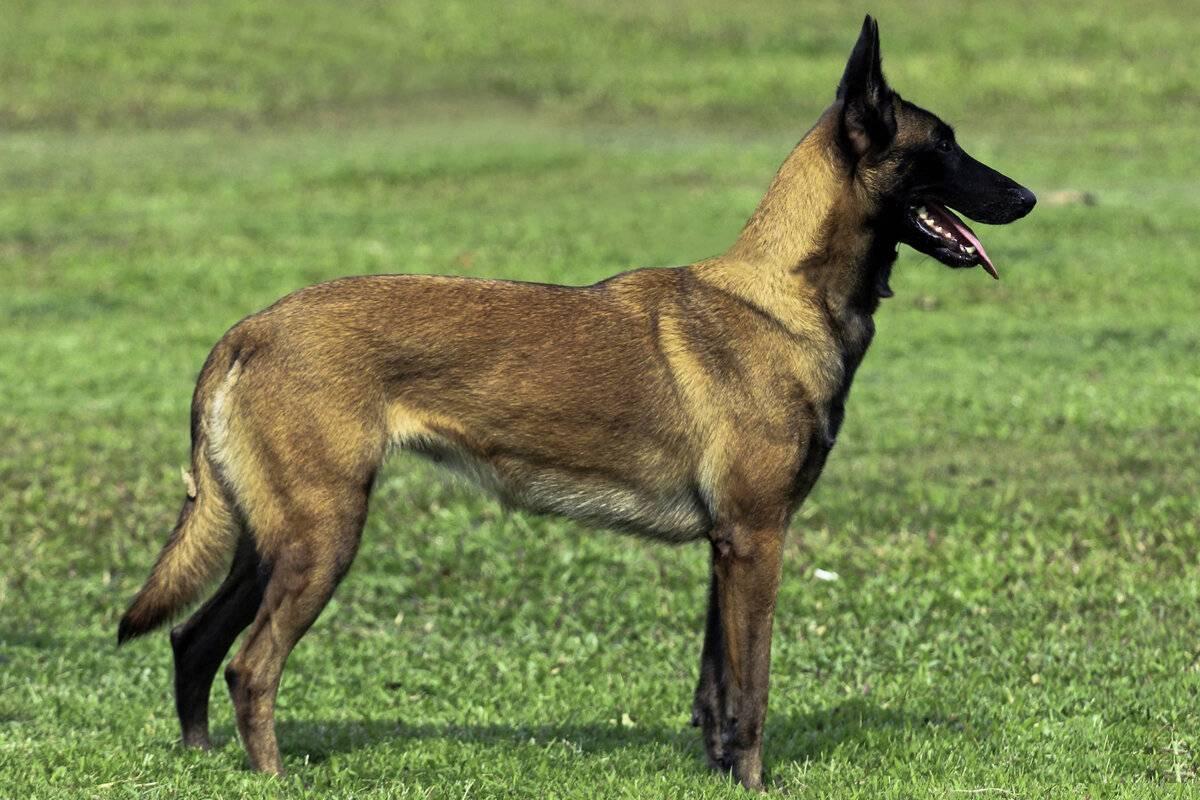 Бельгийская овчарка малинуа описание породы собак, фото и видео материалы, отзывы о породе