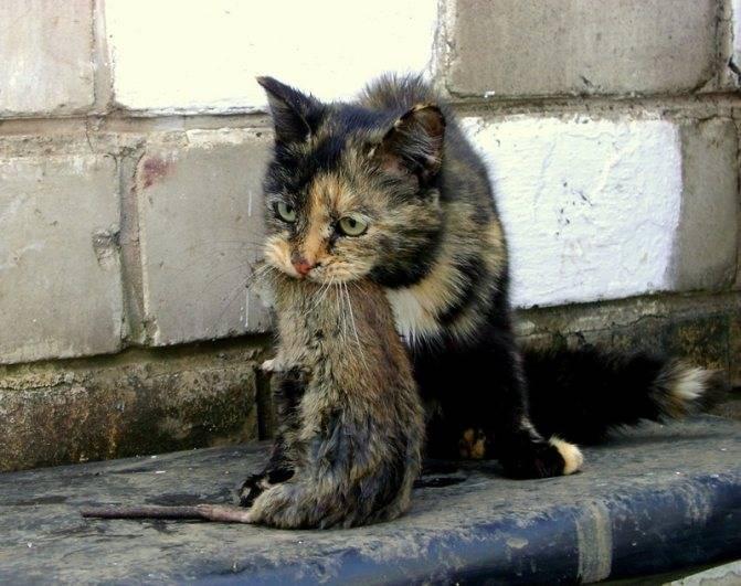 Признаки бешенства у человека после укуса кошки: инкубационный период, первые симптомы, сколько есть времени