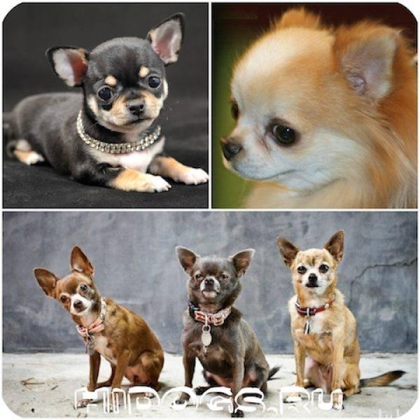 Миниатюрная порода собак чихуахуа: описание и характеристика