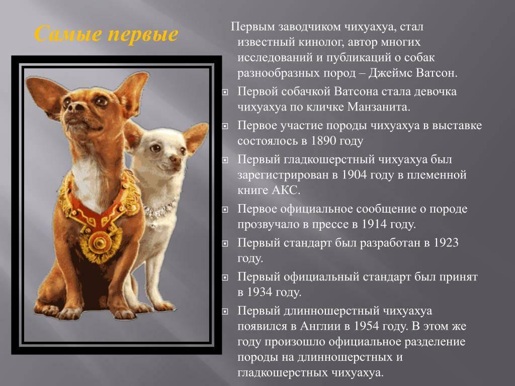Чихуахуа: всё, что нужно знать об этой породе собак от а до я