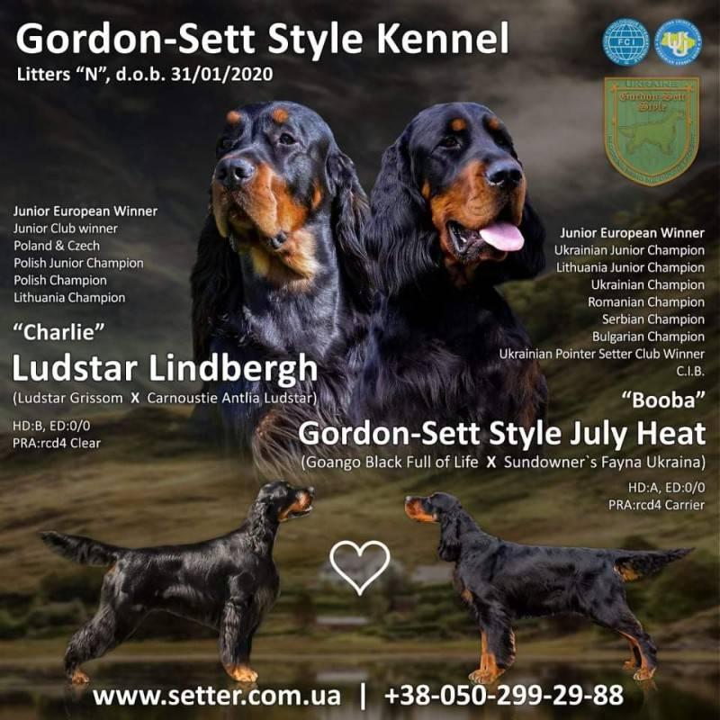 Шотландский сеттер (гордон): описание породы, характер, фото