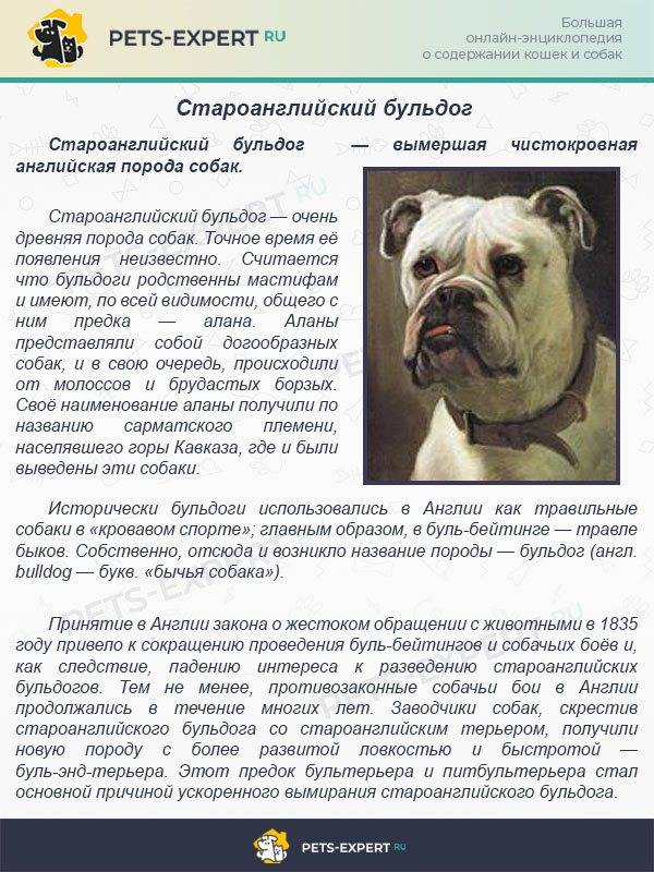 Булли кутта собака. описание, особенности, характер, уход и цена породы булли кутта | животный мир