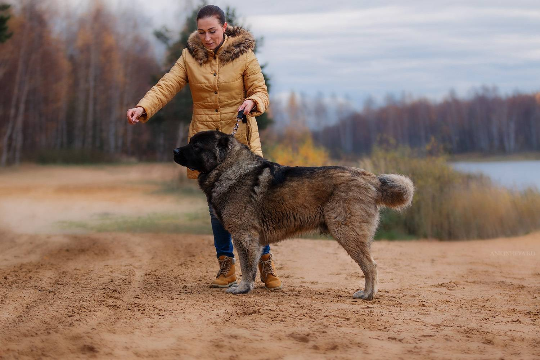 Метисы немецкой овчарки - фото гибридных пород