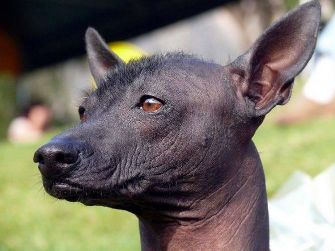 Как выглядят лысые породы собак с хохолком: обзор мексиканской ксолоитцкуинтли