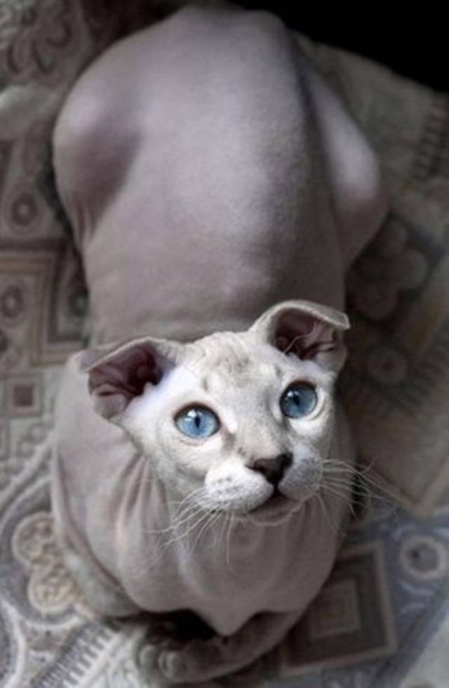 Все о кошках породы украинский левкой