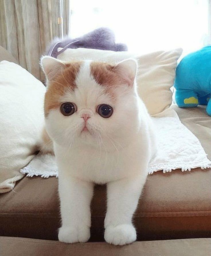 Породы кошек с приплюснутой мордой: фото и факты   сайт «мурло»