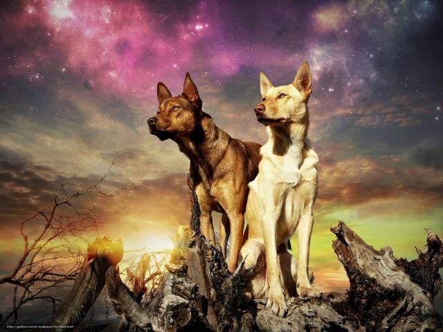 Австралийская пастушья собака: описание и содержание породы