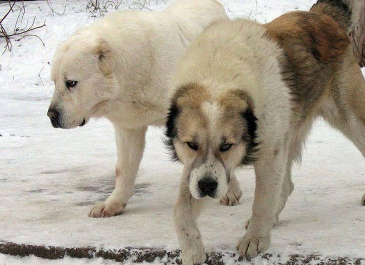 Алабай: фото взрослых собак и щенков, стандарт породы, описание разновидностей, варианты окраса и сравнение роста с человеком