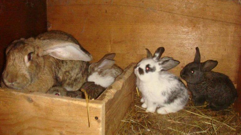 Беременность у кроликов: признаки, длительность, особенности ухода