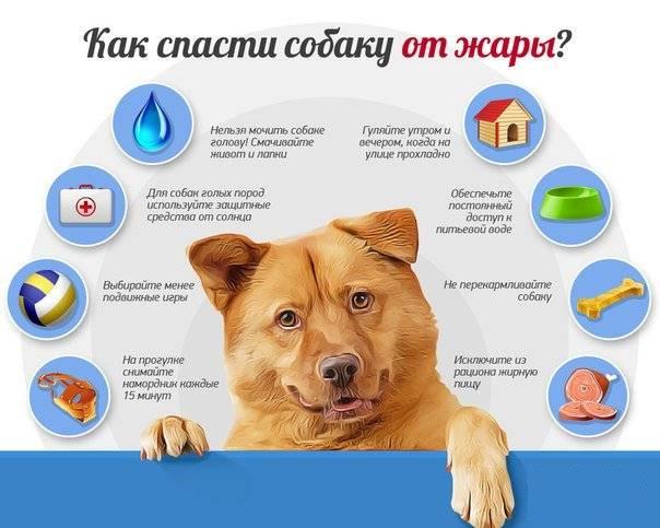 Оказываем помощь для собаки в сильно жаркую погоду в домашних условиях