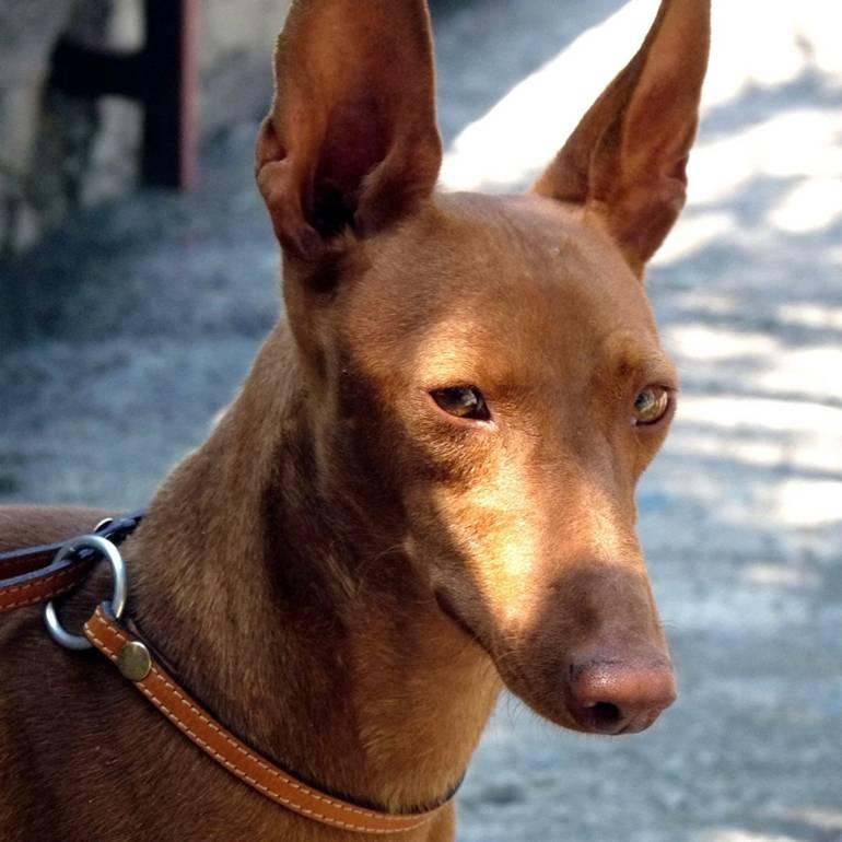 Фараонова собака: описание породы фараонов, фото, характеристика