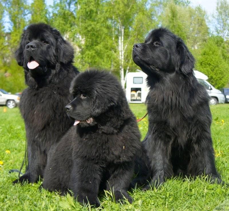 Ньюфаундленд (собака водолаз): описание породы, характер, фото, содержание и уход