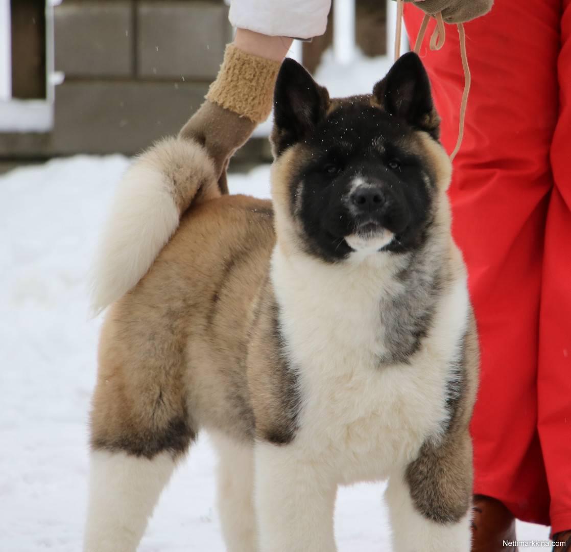 Собака американская акита: фото и описание, характеристика породы, воспитание и правильный уход