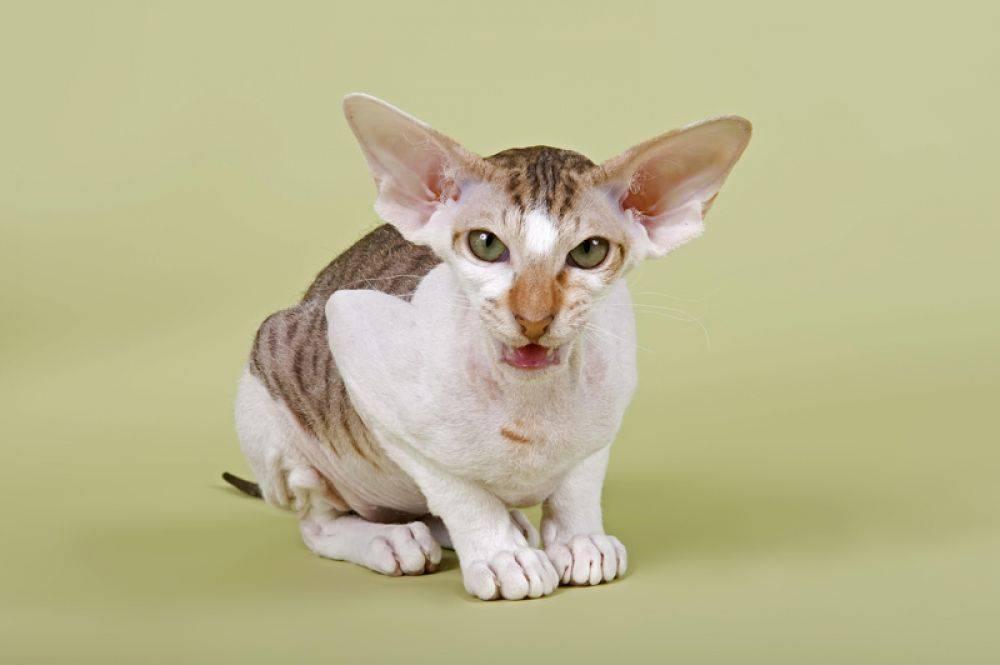 Какие породы кошек самые распространённые в россии. топ-10 самых популярных пород кошек с описанием и фото   inwomen