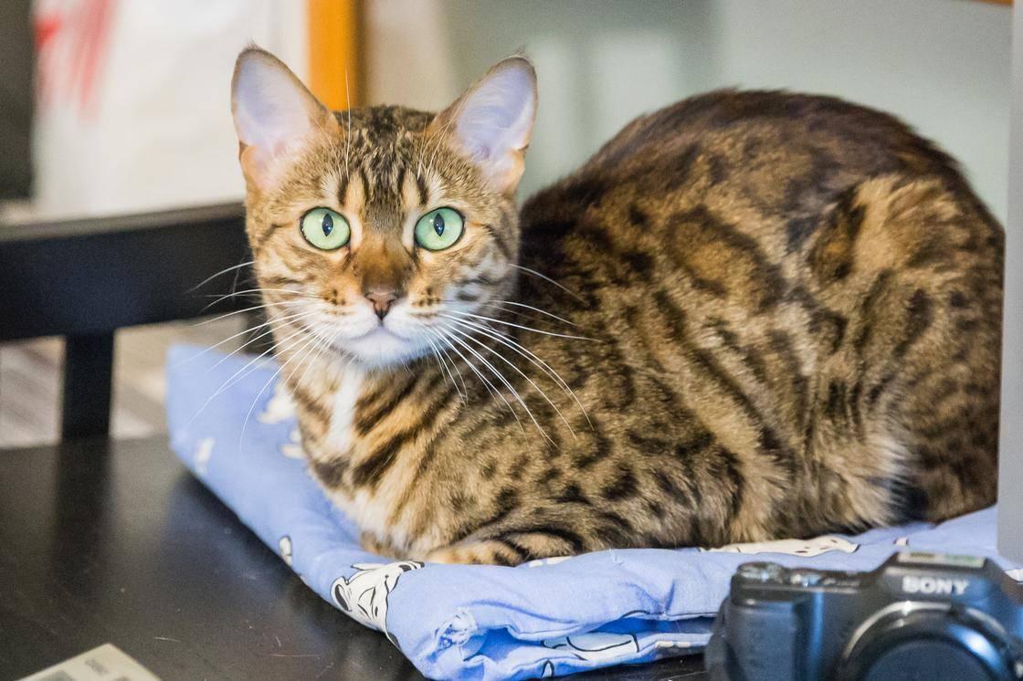 Бенгальский леопардовый кот, цена ухода