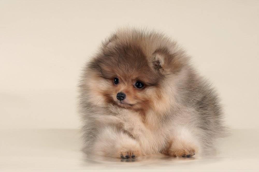 Белый померанский шпиц: фото собак, брак или порода, описание характера, особенности ухода и как правильно выбрать щенка