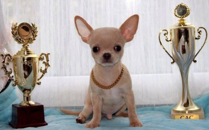 Воспитание и дрессировка чихуахуа: как научить собаку слушаться?