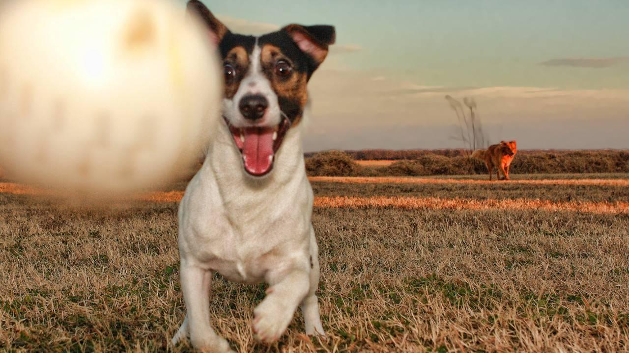 Порода собаки из фильма «маска»: какой ее внешний вид, характер и уход