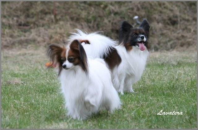 Континентальный той спаниель (папильон и фален): описание породы собак - моя собака