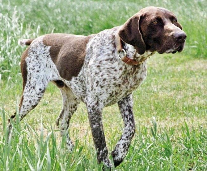 Крымский охотник - охотничий блог - легавые (подружейные) собаки. краткое описание и особенности пород
