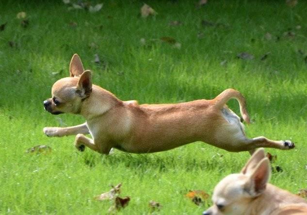 Как правильно дрессировать чихуахуа: в домашних условиях, щенка