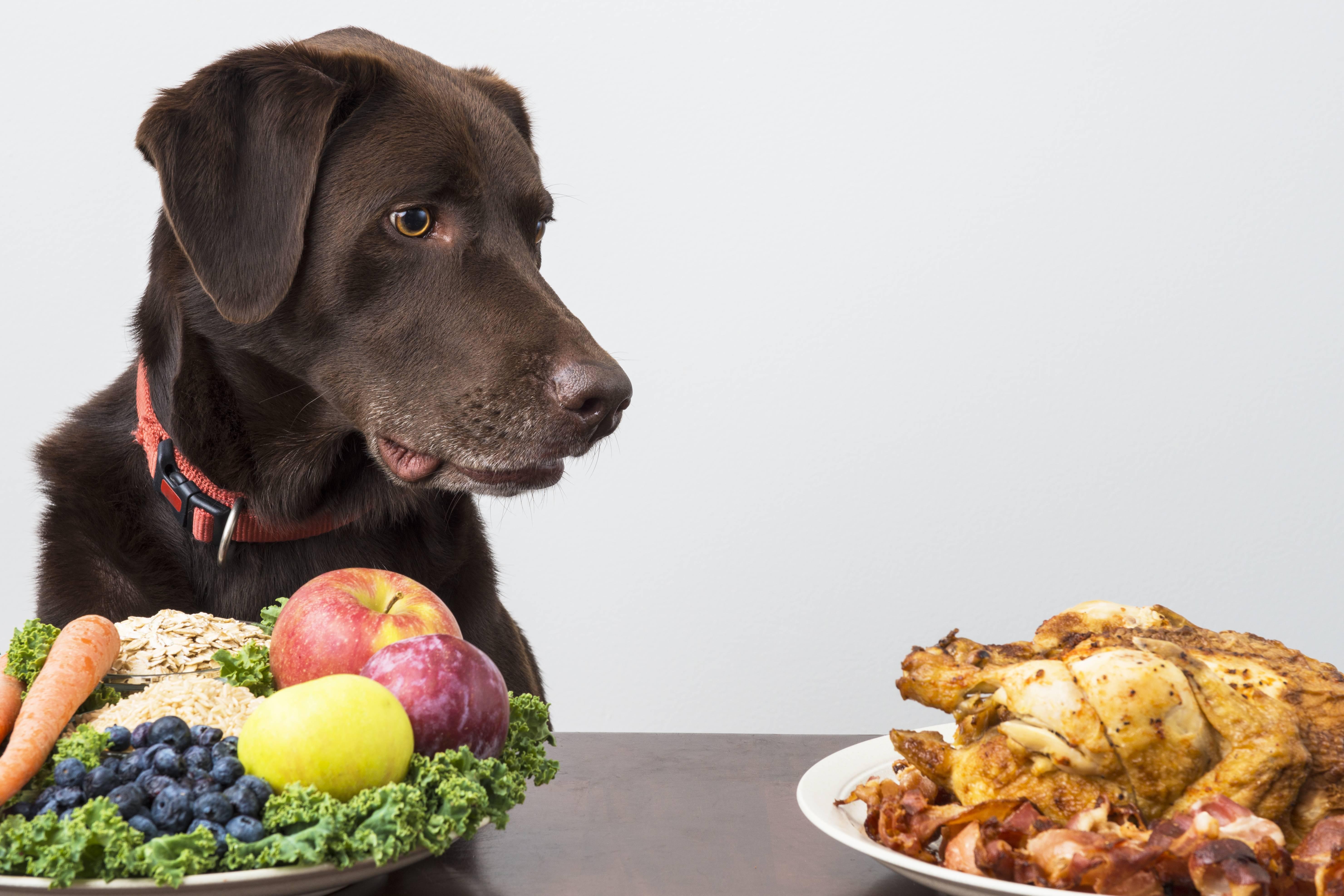 Можно ли собакам давать шоколад и чем он вреден для них?