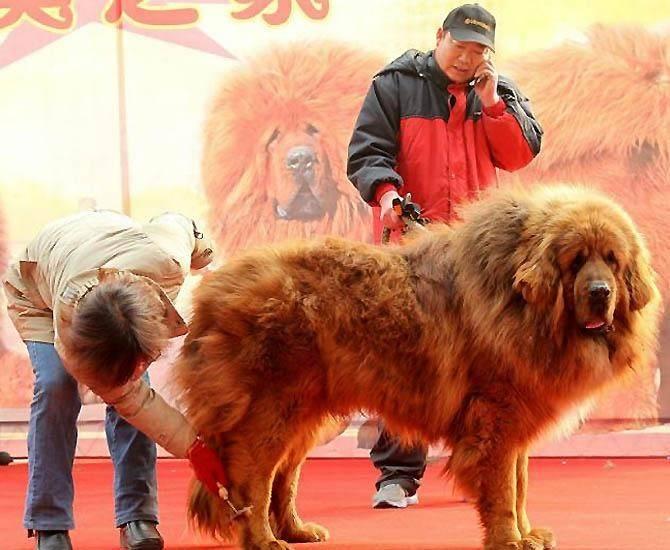 Тибетский мастиф: характеристика породы, рост и вес, уход
