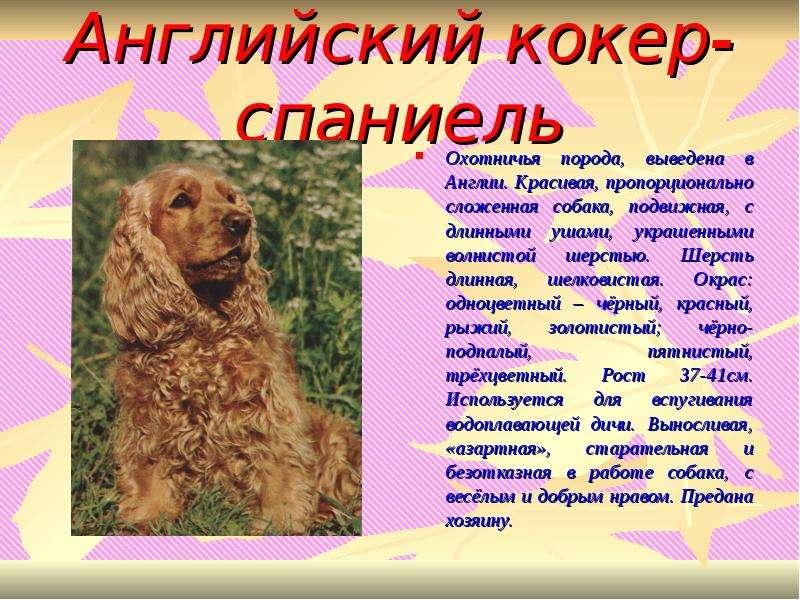 Русский спаниель — порода для любителей прогулок и хозяев частных домов