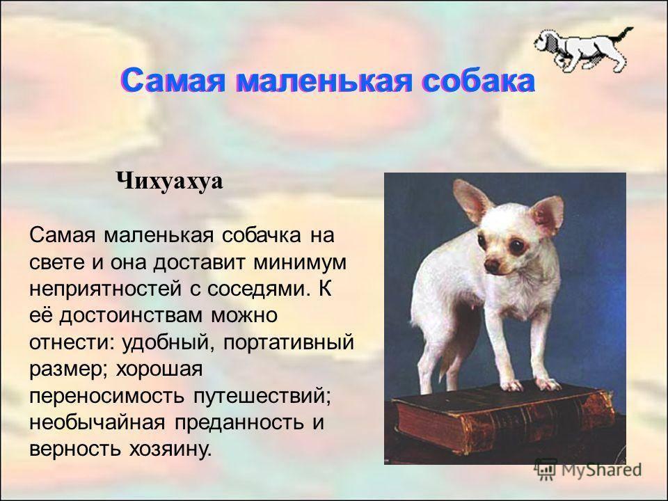 Самые маленькие породы собак: фото, описание, рейтинг