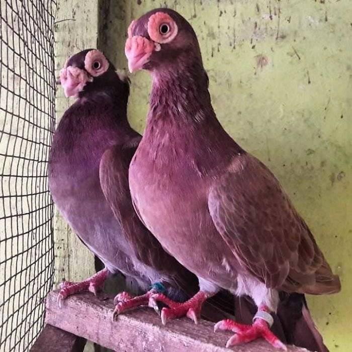 Высоколетные голуби: лучшие породы, летные характеристики